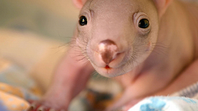 Secret Life of the Wombat - A Joey's Journey