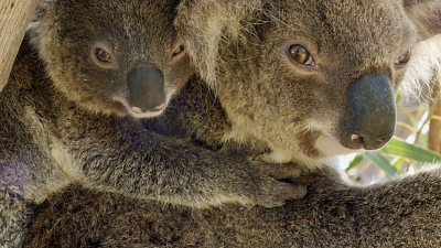 Secret Life of the Koala - Breeding Season
