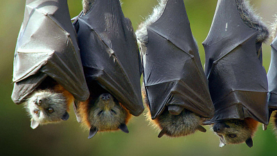 Secrets of Wild Australia - The Flying Fox