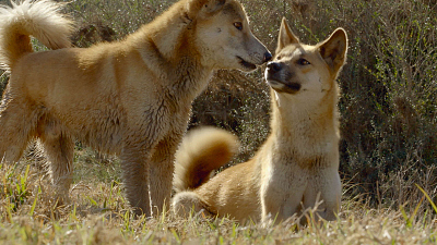 Secrets of Wild Australia - The Dingo