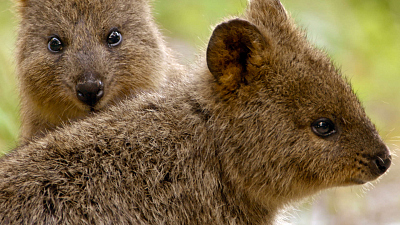 Secrets of Wild Australia - Mini Marsupials