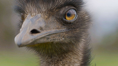 Wild Birds of Australia - The Emu
