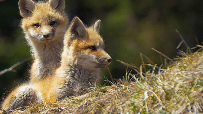 Wild Wild East - Foxes