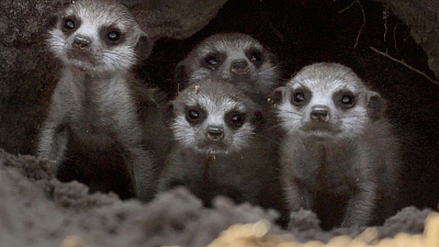Wildlife Icons - Meet the Meerkats