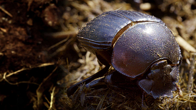 Wildlife Icons - Dung Beetle: Nature's Recycler