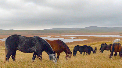 Wild Wild East - Horses of St. Pierre & Miquelon