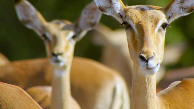Wildlife Icons - Springbok & Impala: Life in the Herd