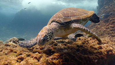 Arabian Seas - A Turtle's Legacy