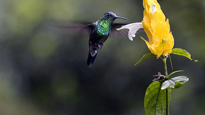 Into the Wild Colombia - The Hummingbird's Quest