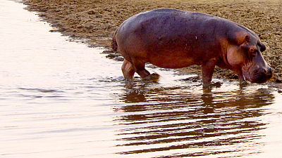 Tales From Zambia - Hippo River