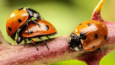 Macro Worlds - God's Darlings: Beetles