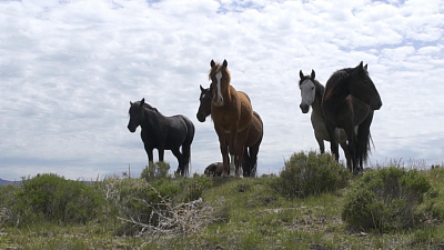 CBS This Morning - Gov't will now pay you to adopt wild horses