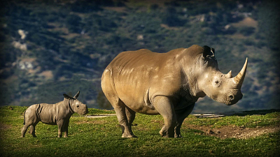 CBS This Morning - The fight to save the northern white rhino