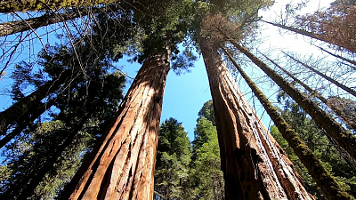 CBS This Morning - How drought is impacting giant sequoia trees