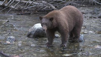 Sunday Morning - Nature: Bear vs. fish
