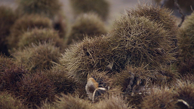 CBS This Morning - American chestnut trees given fighting chance
