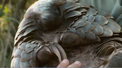 CBS This Morning - Endangered pangolins linked to coronavirus